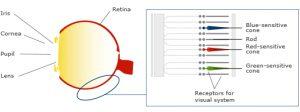 hcl_human-eye-retina